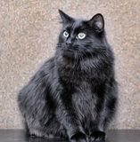 Thick fluffy black cat. Thick fluffy beautiful black cat stock photo