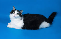 Thick fluffy black and white cat lying on blue Royalty Free Stock Photos