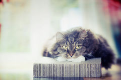 Thick fluffy cute cat lies and looks dreamily Stock Photos