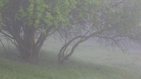 Thick fog covers forest landscape. Summer. Green trees. Thick fog covers forest landscape. Summer. Green trees stock video footage