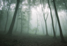 Thick fog in a dark mysterious spooky forest Royalty Free Stock Images