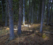Thick forest at dawn Stock Image