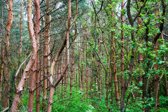 Thick forest on overcast day Stock Images