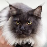 A thick-furred cat with yellow eyes. Close-up of a thick-furred cat with yellow eyes Royalty Free Stock Image