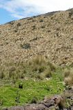 Thick grass on a slope in the Antisana Ecological Reserve, Ecuador Stock Image