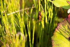 In a thick grass in a sunny meadow a small beetle, it crawls over the vegetation from one plant to another in some sort of search. It`s very interesting to stock image
