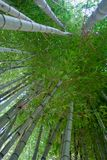 Thick Green Bamboo Forest. A dense green forest made of thick, tall bamboo trees Stock Photography