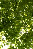 Thick green foliage of trees