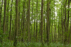 Thick Green Forest Royalty Free Stock Image