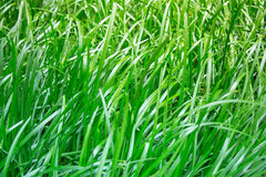 Thick green grass among other jungle greenery in my lush tropical garden. This beautiful wild grass is part of a pasture on my rur Royalty Free Stock Photography