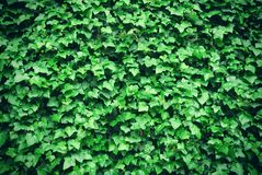 Thick green ivy leaves background Stock Photos