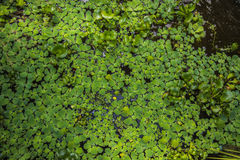 Thick green shoots in the water, a plurality of sheets coated with water. Botanical Garden Stock Photo