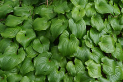 Thick groundcover of false lily of the valley. ( Maianthemum dilatatum ) , aka snakeberry, or two-leaved Solomon's seal Otter Crest, Oregon Coast royalty free stock photo