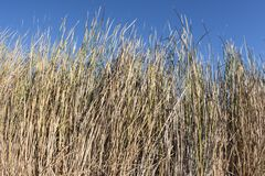 Thick growth of Typha cattails with sunny blue sky Stock Images