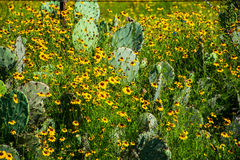 Thick Healthy Texas Cactus yellow Wild Flowers Hill Country Royalty Free Stock Image