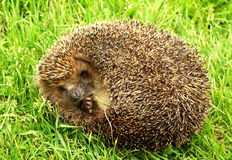 The thick hedgehog Royalty Free Stock Photography