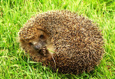 The thick hedgehog on a green grass. The small scared hedgehog is photographed in the summer in a wood Stock Images