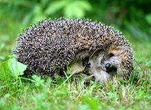 Thick hedgehog Royalty Free Stock Images