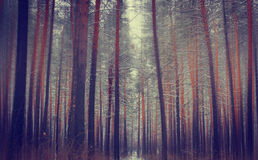 Thick high pine forest Royalty Free Stock Photography