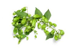 Thick Hops Branch Royalty Free Stock Photos