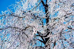 Thick Ice on Tree Branches Royalty Free Stock Photos