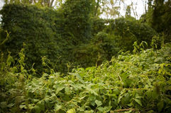 Thick Jungle Creepers Royalty Free Stock Image