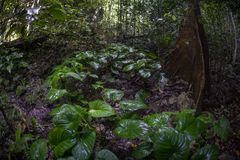 Healthy Rainforest in Raja Ampat, Indonesia. A thick jungle grows on a limestone island in Raja Ampat, Indonesia. This remote, tropical region is known as the stock photos