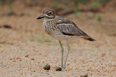 Thick-knee Royalty Free Stock Photos