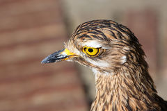 Thick Knee bird Royalty Free Stock Photos