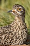 Thick-Knee Bird Portrait Stock Photos