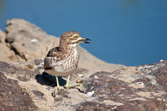 Thick Knee sitting on rock Stock Photos