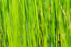 Background of seagrass closeups macro. Thick lake grass at beautifully located lake in Sweden macro closeups sunny day royalty free stock photography