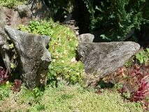 Garden corner with old rootstock and thick-leafed plants. Thick-leafed plants grow around a rootstock, decorative corner in the garden, Good decoration idea with stock image