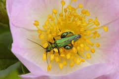 Thick-legged Flower Beetle Stock Photography