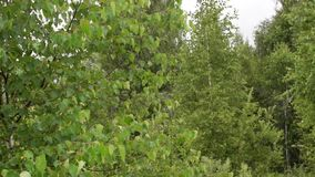 Thick lush thickets of young birches stock video
