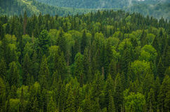 Thick morning fog in the summer forest. Thick fog covered with thick coniferous forest. forest with a bird's eye view . coniferous trees, thickets of green Stock Photography