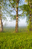 Thick morning fog in the summer forest. Royalty Free Stock Images