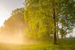 Thick morning fog in the summer forest. Stock Photo