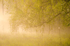 Thick morning fog in the summer forest. Royalty Free Stock Photos