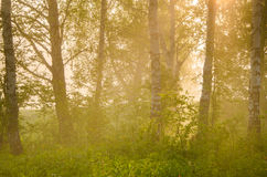 thick morning fog in the summer forest. stock photography