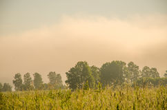 Thick morning fog in the summer forest Stock Photos