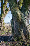 Thick old tree trunk from close Stock Photo