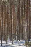 Thick pine tree forest Stock Photos