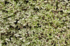 Thick plant leafy greens Stock Images