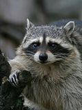 Thick raccoon. Amusing thick raccoon on a wood branch Stock Photos