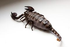 Scorpio after feeding. Thick scorpion on a white background. Scorpio after feeding stock images