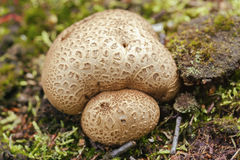 Thick-shelled earthball - Scleroderma citrinum Stock Image