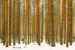 Thick snowy pine wood forest background Royalty Free Stock Photo