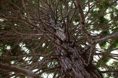 Thick southern tree Royalty Free Stock Photography