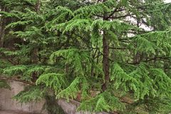 Thick spruce green. Dense green spruce, with a large ostorium, who saw many things but did not care to say, looking but silent Stock Image